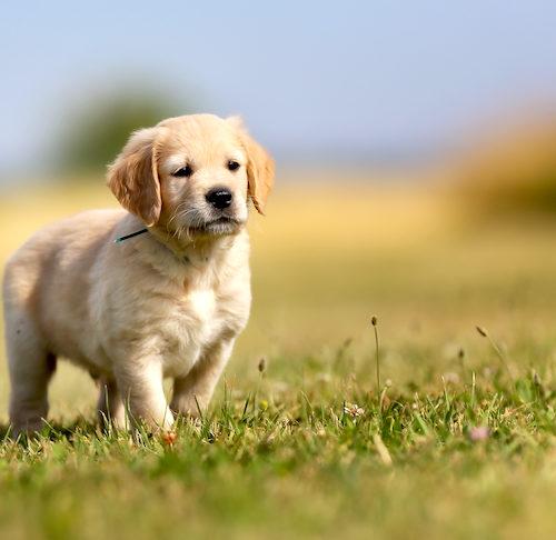 golden retriever's dog breeds