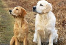 disease in golden retrievers