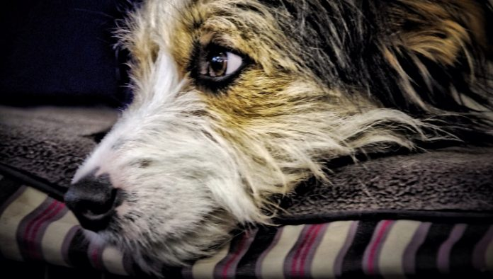 Reducing the Risks of Cancer for Dogs